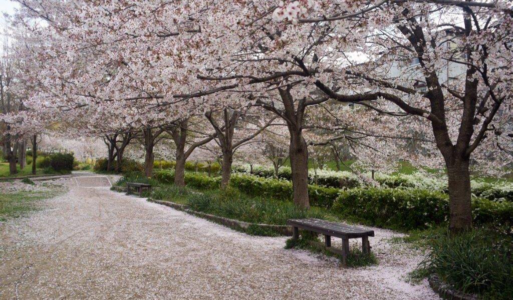 Cherry trees.