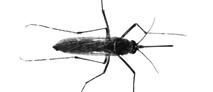 mosquito_small