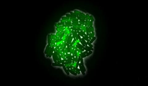 bacteria under a microscope