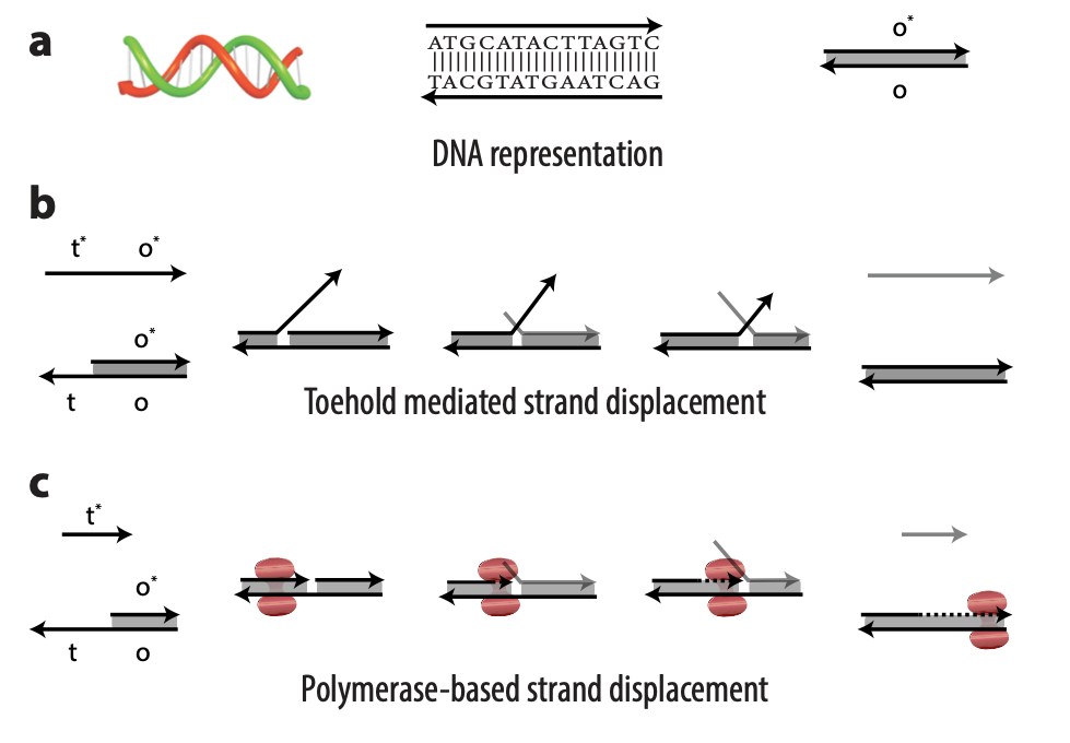A multipart figure showing (a) three representations of DNA; (b) the process of toehold mediated strand displacement (TMSD); and (c) the process of polymerase-based strand displacement (PSD). The strands of DNA for each process are represented by arrows and labeled with domain names t*, o*, t, and o. Input DNA strands—t* o* in the case of TMSD and t* in the case of PSD—bind with an exposed single-stranded portion of a double-stranded DNA complex t o. In TMSD, the output is displaced in a tug of war; in PSD, the output is displaced when the polymerase enzyme elongates the input strand.