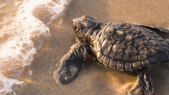 Bébé tortue sur une plage