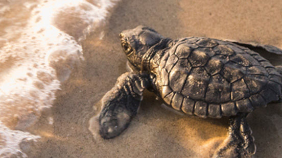 波打ち際にいるウミガメの赤ちゃん